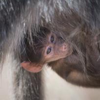 Pavian-Baby