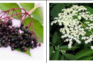 Elderberry: Sambucus nigra.