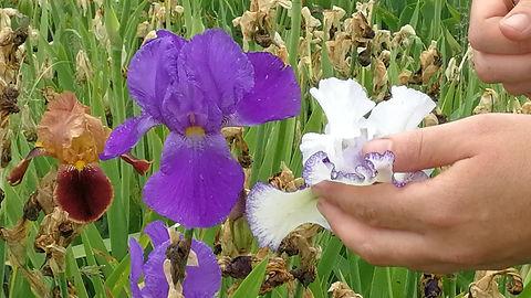 How To Pollinate An Iris