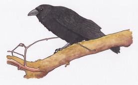 Raven- Hugin