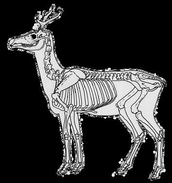 Deer- skeletal horiz.png