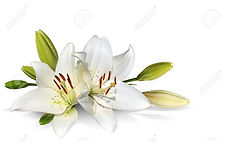 easter-lily-flowers-on-white-background.