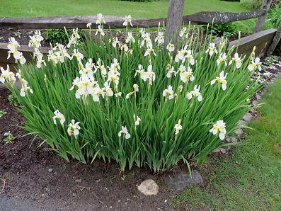 Iris white Siberian big clump 6-16-19.jp