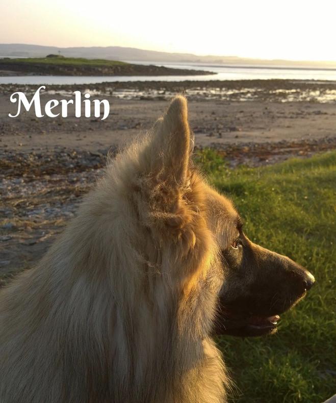 merlin-of-bluecap-gsd-5b65894f874dc.jpg
