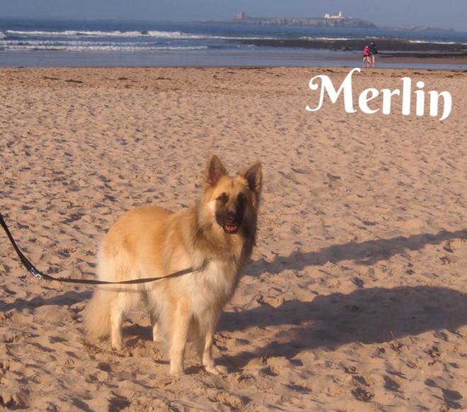 merlin-of-bluecap-gsd-5b65894e61e5a.jpg
