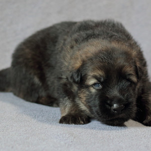 Bruce-Dexter, Rüde grau-braun