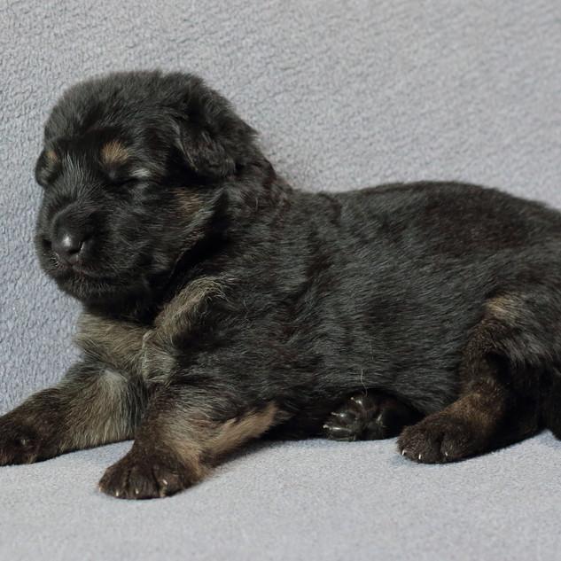 Bruno, Rüde schwarz-braun