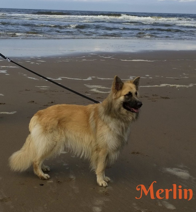 merlin-of-bluecap-gsd-5b65894df0ffd.jpg