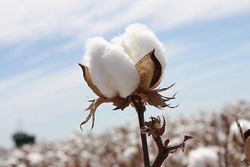 cotton-picture.jpg