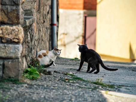 Cat fights! Homeopathy for bites and scratches in animals