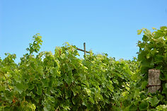 La Croix dans les vignes