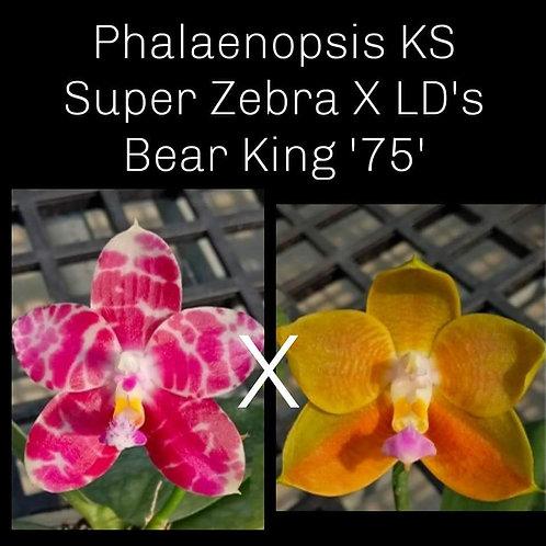 Phalaenopsis KS Super Zebra X LD's Bear King '75'