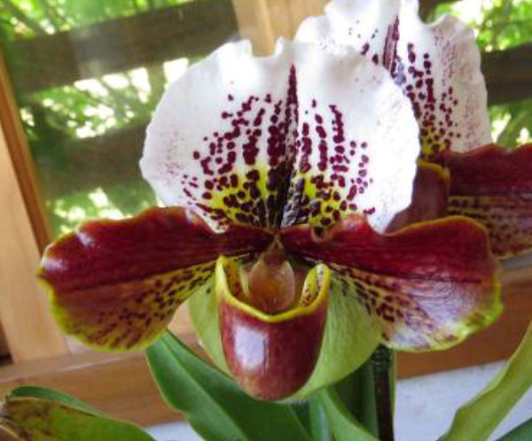 Paphiopedilum Cocoa Pacific Red X Enzan Kitty