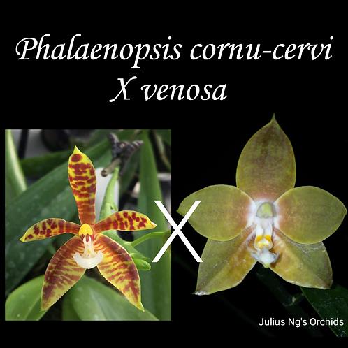 Phalaenopsis cornu-cervi X venosa