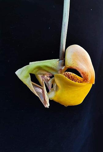 Coryanthes bruchmuelleri