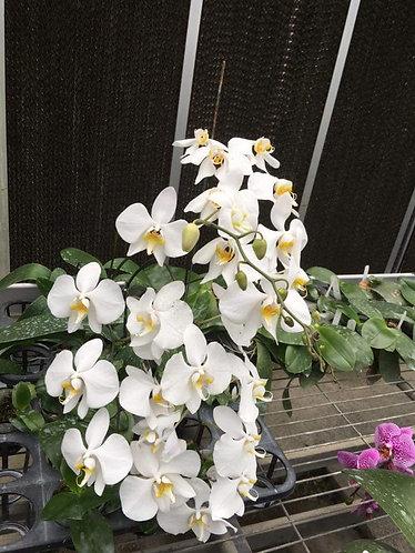 Phalaenopsis amabilis 'Irian Jaya'