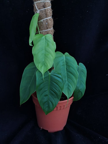 Philodendron sharoniae