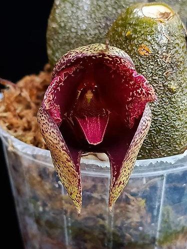 Bulbophyllum macrobulbon
