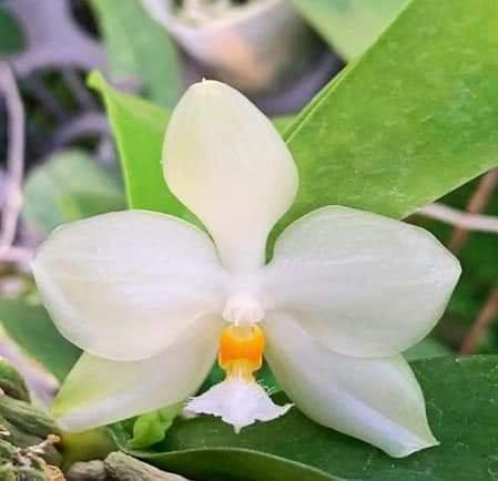 Phalaenopsis micholitzii (blooming size)