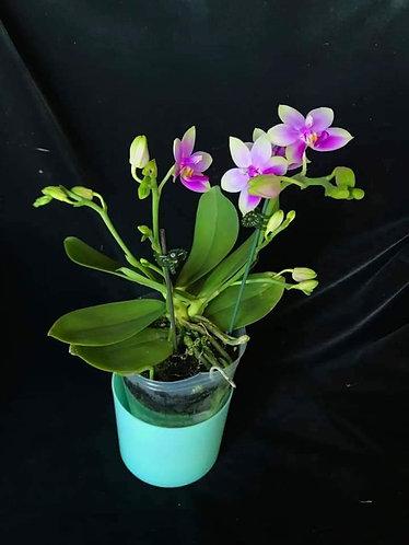 Phalaenopsis (Kennith Schubert X violacea) 'SH'