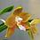 Thumbnail: Phalaenopsis LD's Bear King 'RH-3'/'75'