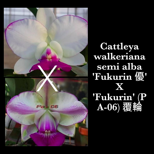 Cattleya walkeriana semi alba 'Fukurin 優' X 'Fukurin' (Pa-06) 覆輪
