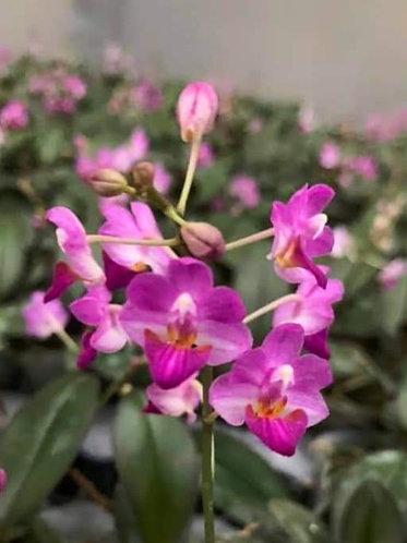 Phalaenopsis appendiculata X pulcherrima