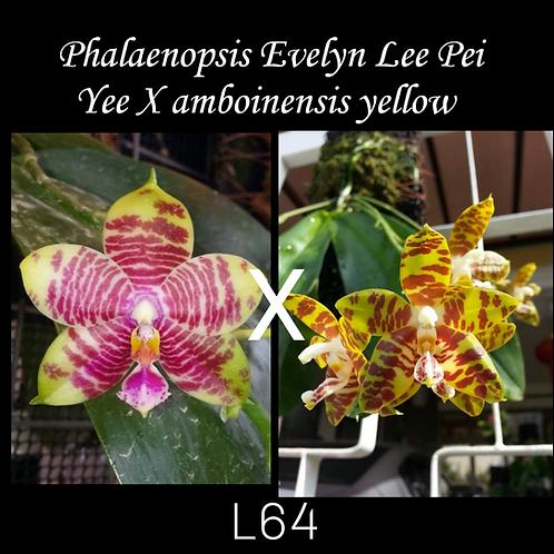 Phalaenopsis Evelyn Lee Pei Yee X amboinensis yellow (L64)