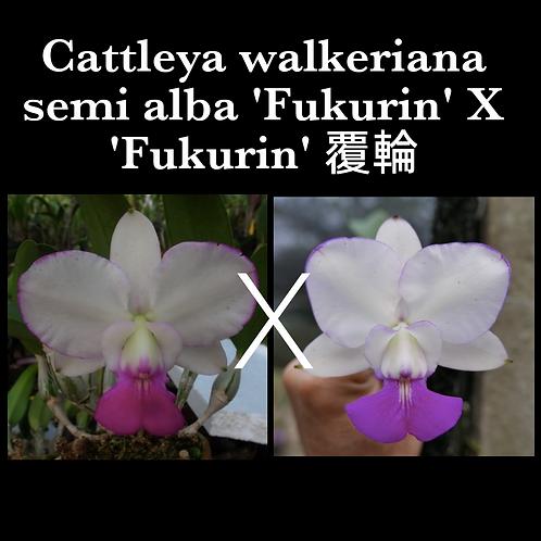 Cattleya walkeriana semi alba 'Fukurin' X 'Fukurin' 覆輪