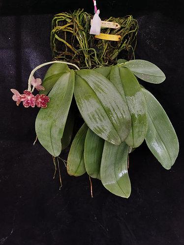 Phalaenopsis gigantea 'Jumbo Isle'