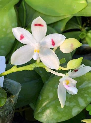Phalaenopsis tetraspis 'stripes' X sib