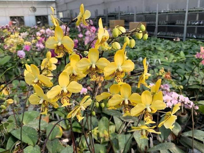 Phalaenopsis stuartiana var nobilis '915'