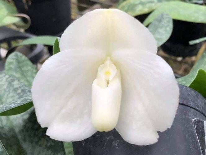 Paphiopedilum bellatulum fma. album X sib