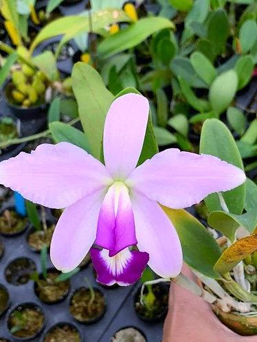 Cattleya violacea coerulea selected