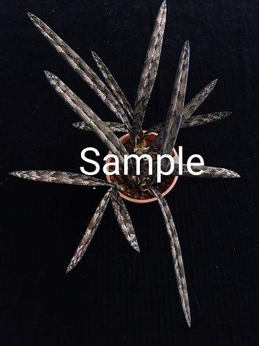 Oeceoclades spathulifera