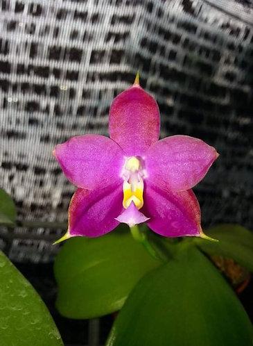 Phalaenopsis hybrid naming right