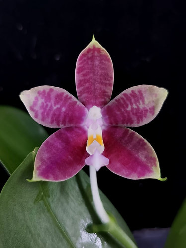 Phalaenopsis Evelyn Lee Pei Yee X (Jennifer Palermo-violacea indigo) (L62)