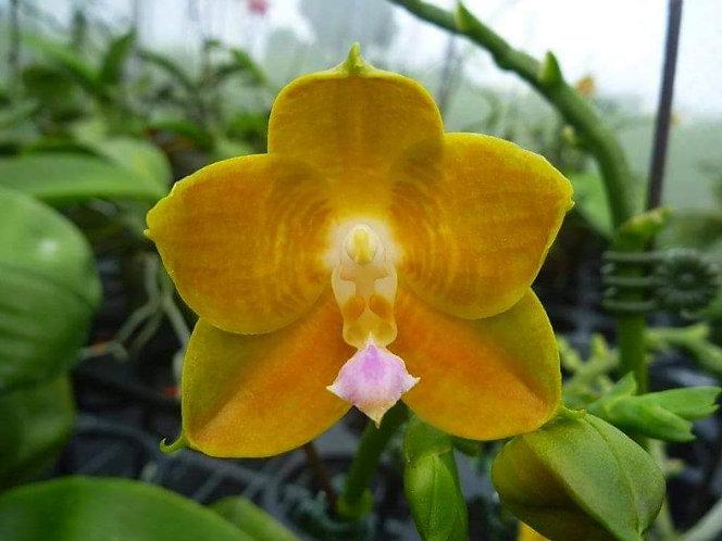 Phalaenopsis LD's Bear King 'RH-3'/'75'