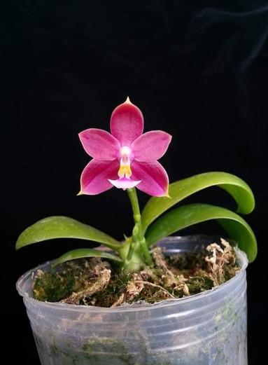 Phalaenopsis Jennifer Pang