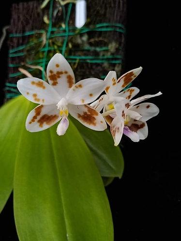 Phalaenopsis speciosa 'coffee sppt' X 'purple sppt'