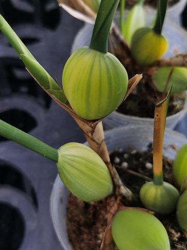 Maxillaria tenuifolia variegated