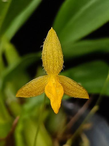 Bulbophyllum geniculiferum flava