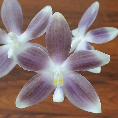 Phalaenopsis speciosa 'Yong Blue'
