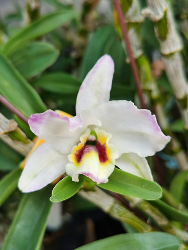 Dendrobium Lucky Pochette
