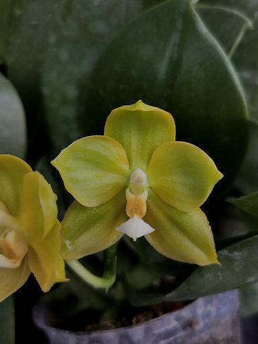 Phalaenopsis Shye-Lih Evergreen