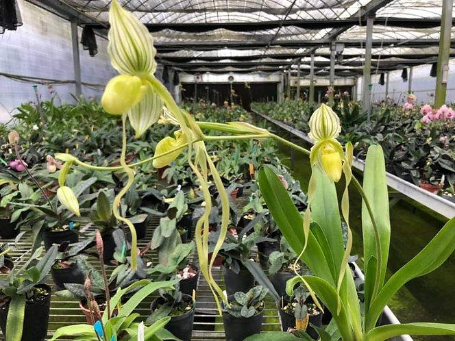Paphiopedilum philippinense 'flava'