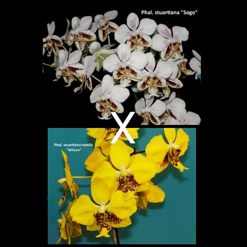 Phalaenopsis stuartiana 'Sogo' X 'nobilis'