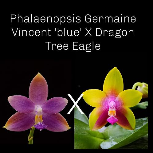 Phalaenopsis Germaine Vincent 'blue' X Dragon Tree Eagle
