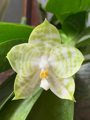 Phalaenopsis Mituo Golden Tiger 'White Tiger' AM/AOS