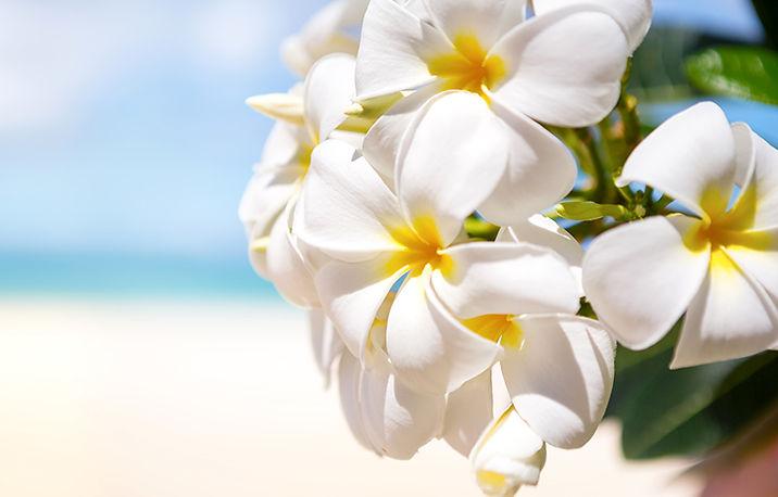 Primula_Closeup_White_475567.jpg